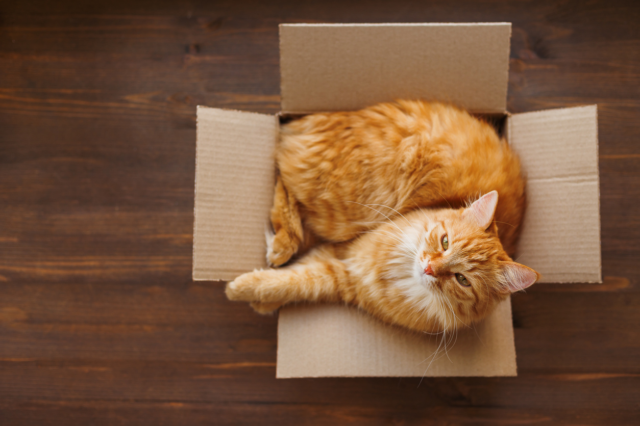 orange tabby cat in moving box